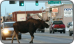 Moose crossing road Anchorage, Alaska