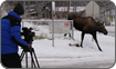 John Brown filming moose Anchorage, Alaska