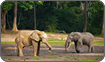 Forest Elephants, Central African Republiuc