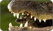 Broad snouted Caiman carrying baby, Life in Cold Blood