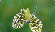 Orange-tip butterflies mating.