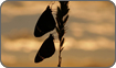 African Monarch Butterfly at dawn