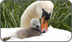 Mute Swan Female on nest with hatchlings