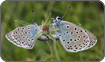 Large Blue butterflies mating