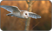 'Kensa' trained Barn Owl, Somerset Levels. Life of Birds