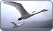 Trained Whooper Swans, 'Journey of Life'