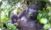 Mother and Infant Gorilla, Nkuringo