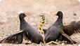 Moorhens fighting, UK