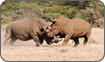 Male white rhinos fighting, Kenya