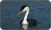 Western Grebe, Oregon, USA