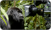 Mountain Gorilla and Camera, Rwanda