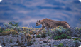 Wild Patagonian Pumas, First encounter