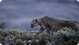 Young adult Patagonian Puma setting off to hunt along lakeshore at dusk